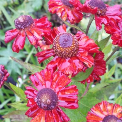 Helenium autumnale 'Ruby Charm'