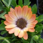 osteospermum peach magic