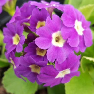 Primula x pubescens 'Mrs. J. H. Wilson'