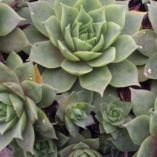 Sempervivum 'Lilac Time'