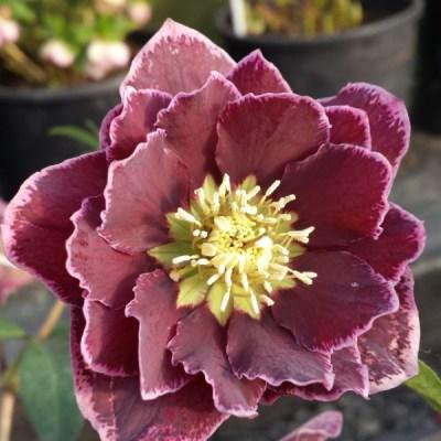 helleborus double dark pink reverse picotee
