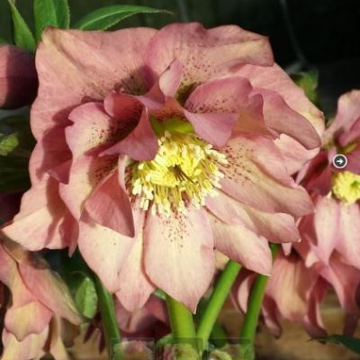 helleborus double peach 7