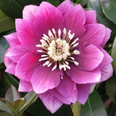 helleborus double pink (2)