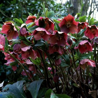 helleborus red single clump2