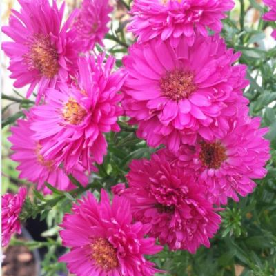 Aster novi-belgii 'Lawrence Chiswell'