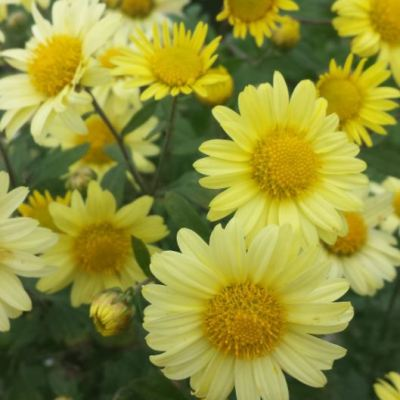 Chrysanthemum 'Early Yellow'