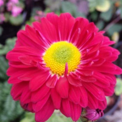Chrysanthemum 'Southway Shiraz'