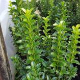 Euonymus japonicus 'Green Rocket'