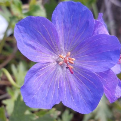geranium-johnsons-blue6