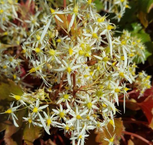 Saxifraga fortunei 'Wadas Variety'