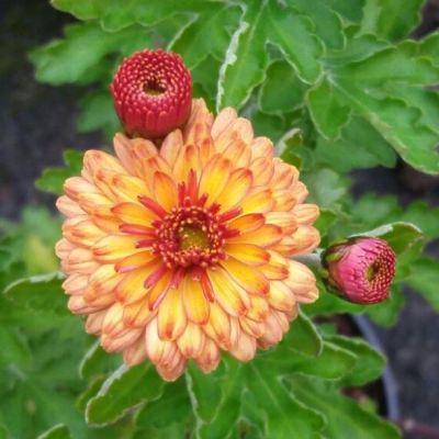 Chrysanthemum 'Herbstbrokat'