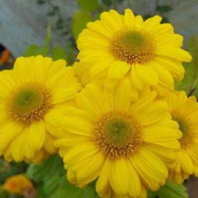 Chrysanthemum 'Southway Shimmer