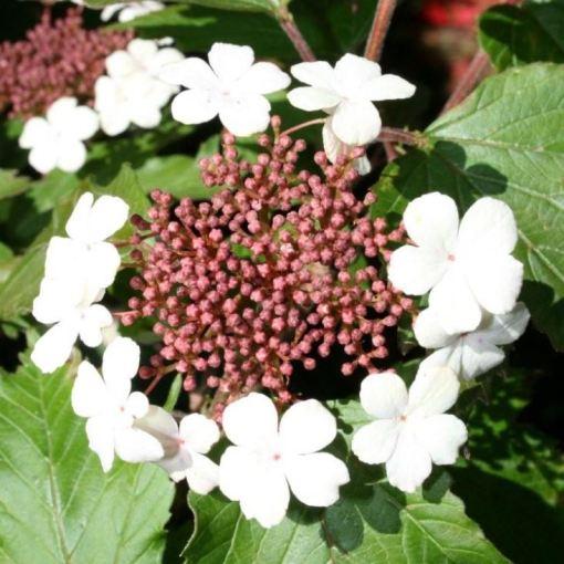 Viburnum sargentii 'Onodaga'