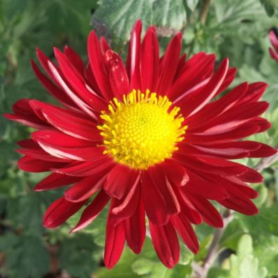 Chrysanthemum 'Winnings Red'