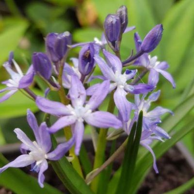 Hyacinthoides reverchonii