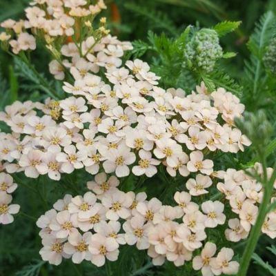 Achillea millefolium 'Carla Hussey'