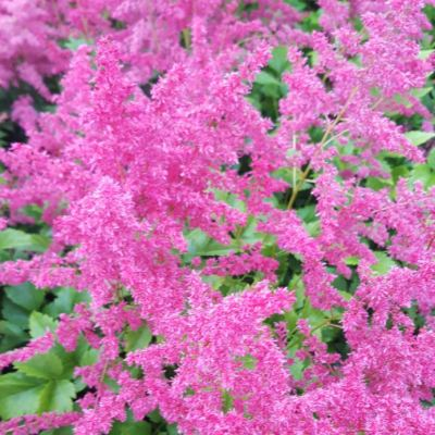 Astilbe 'Younique Cerise'