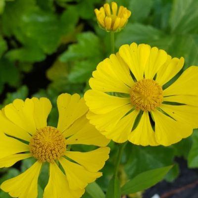 Helenium autumnale 'Yellow Shades'