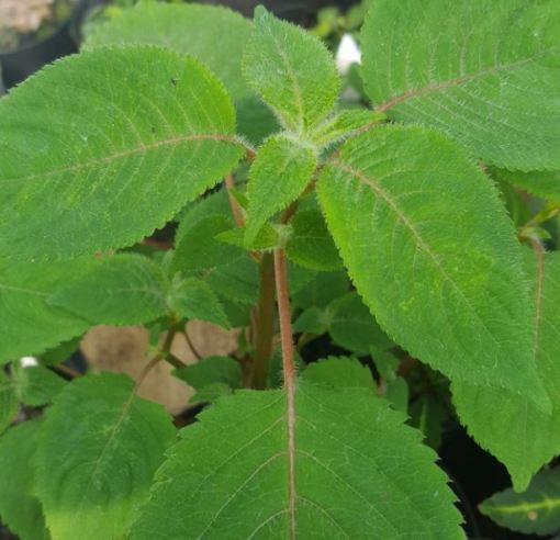 Impatiens apiculata