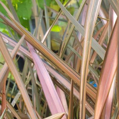 Phormium 'Pink Panther'