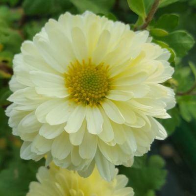 Chrysanthemum 'Posie'