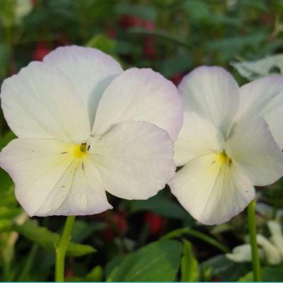 Viola cornuta 'Champagne'