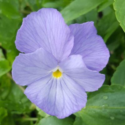 Viola 'Skylark'