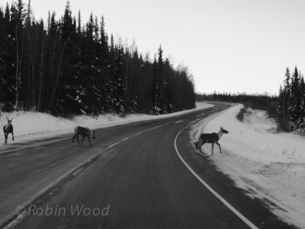 Caribou cross the road near the Canadian border.