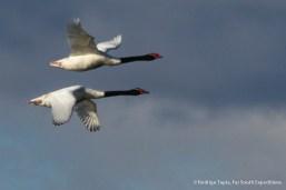 Black-necked Swan, Photo © Rodrigo Tapia, Far South Expeditions