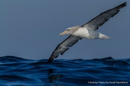 Salvin's Albatross, Photo © Rodrigo Tapia, Far South Expeditions