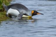 King Penguin, Photo © Rodrigo Tapia, Far South Expeditions