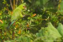 Slender-billed Parakeet, Photo © Rodrigo Tapia, Far South Expeditions