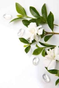 110470-283x424-Gardenia_spray2