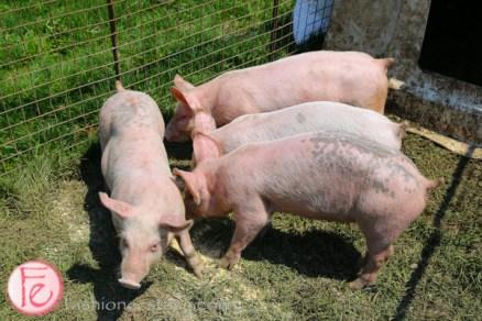 pigs at Landman Gardens & Bakery