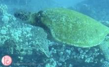 sea turtle at molokini crater