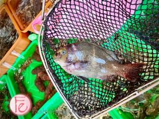 """「黑毛魚」($2000)/ """"smallscale blackfish"""" ($ 2000nt)"""