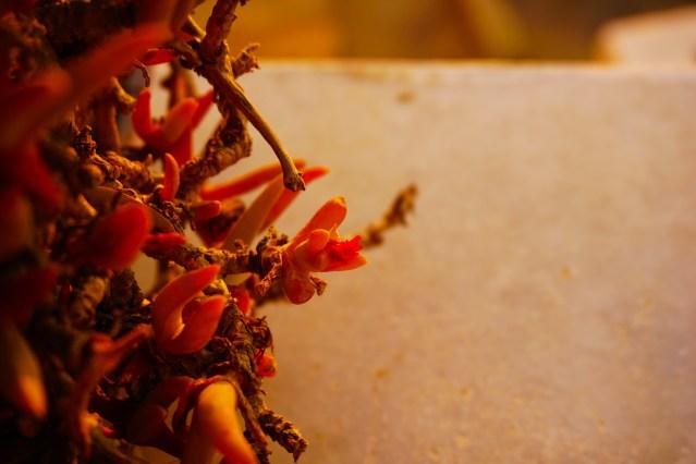flowers imerovigli greece
