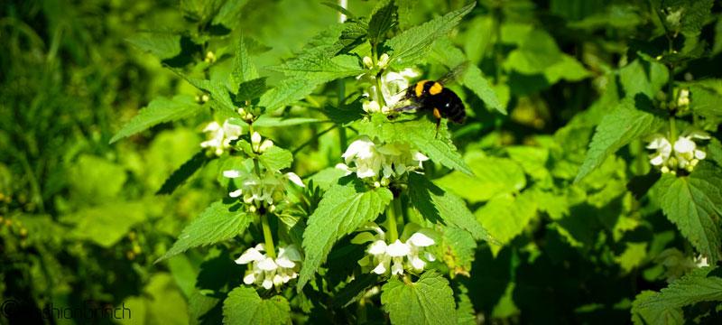 biggest-bumble-bee-in-maramures