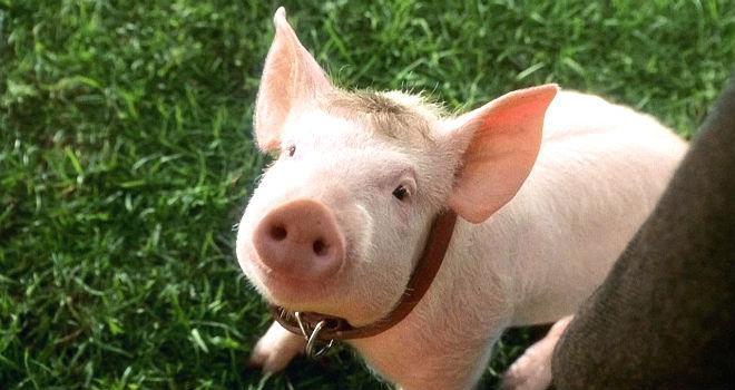 5_Babe_PIG