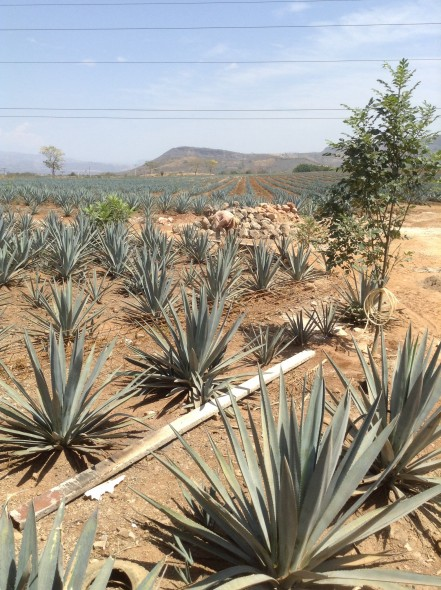 Agave plants stretching to the horizon