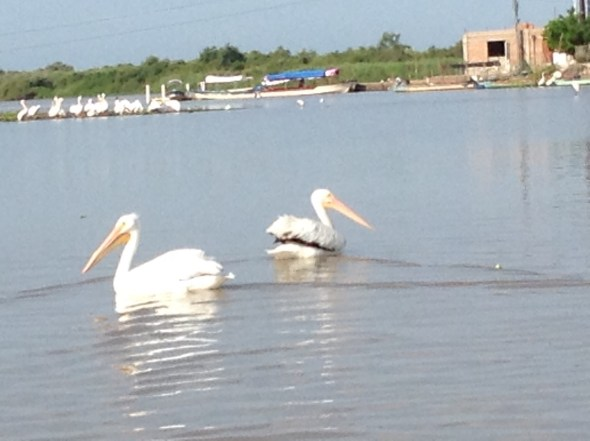 Pure white Pelicans...!