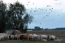 Kraniche und Rinder auf den Boddenwiesen von Ummanz (c) Frank Koebsch (3)