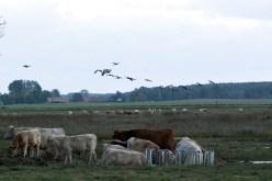 Kraniche und Rinder auf den Boddenwiesen von Ummanz (c) Frank Koebsch