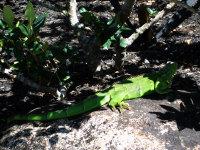 Iguana1_1
