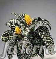 Афеландра – таинственная незнакомка. Афеландра (Aphelandra). Описание, виды и уход за афеландрой