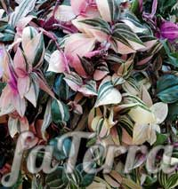 TradeSania White Color (Tradescantia Albiflora)