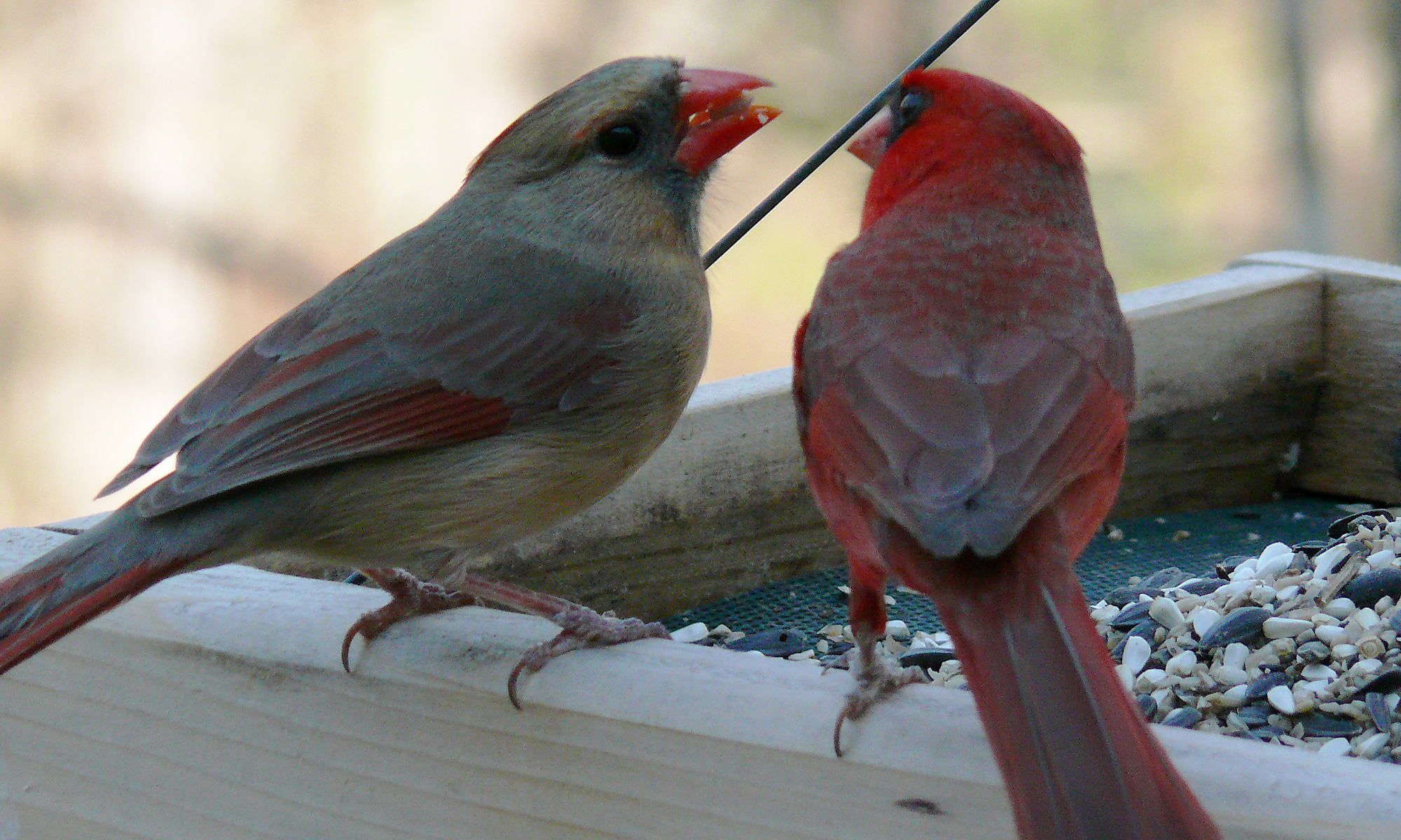 Female and Male Cardinals photographed by Ken Clark