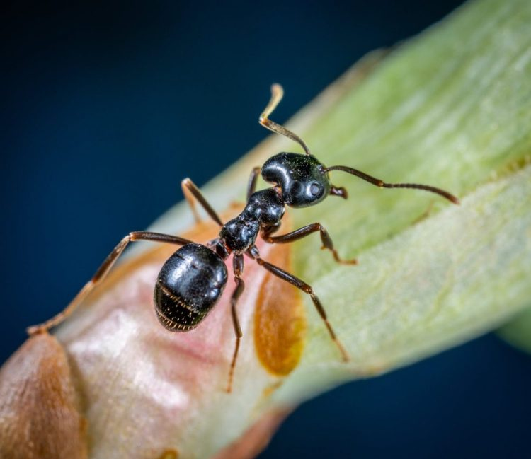macro photo of black carpenter ant on green leaf