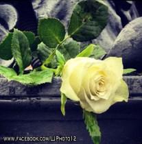 Rose on statue on Spanish Steps