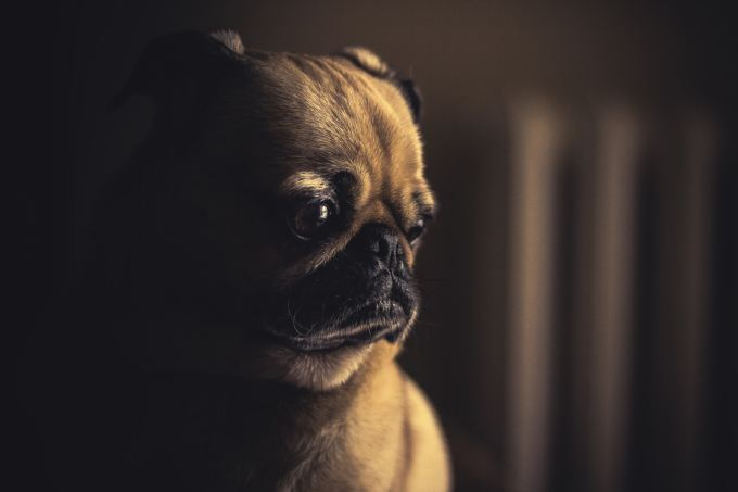Sad pug reflecting on failure